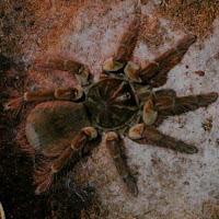 Theraphosa blondi - tarántula goliath