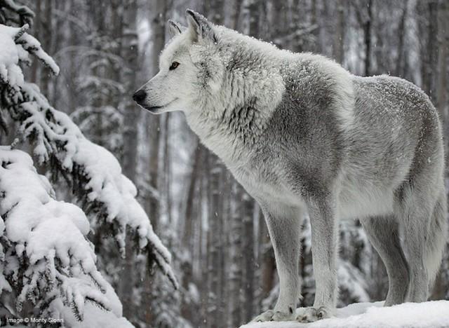 Wolf white wolf