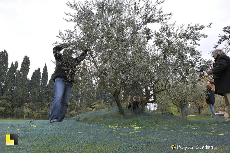 Alain et félicienne blachier peignent un olivier pour faire tomber les olives dans un filet photo pascal blachier