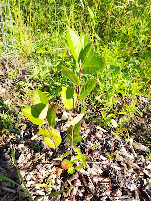 Aronia melanocarpa seedling growing