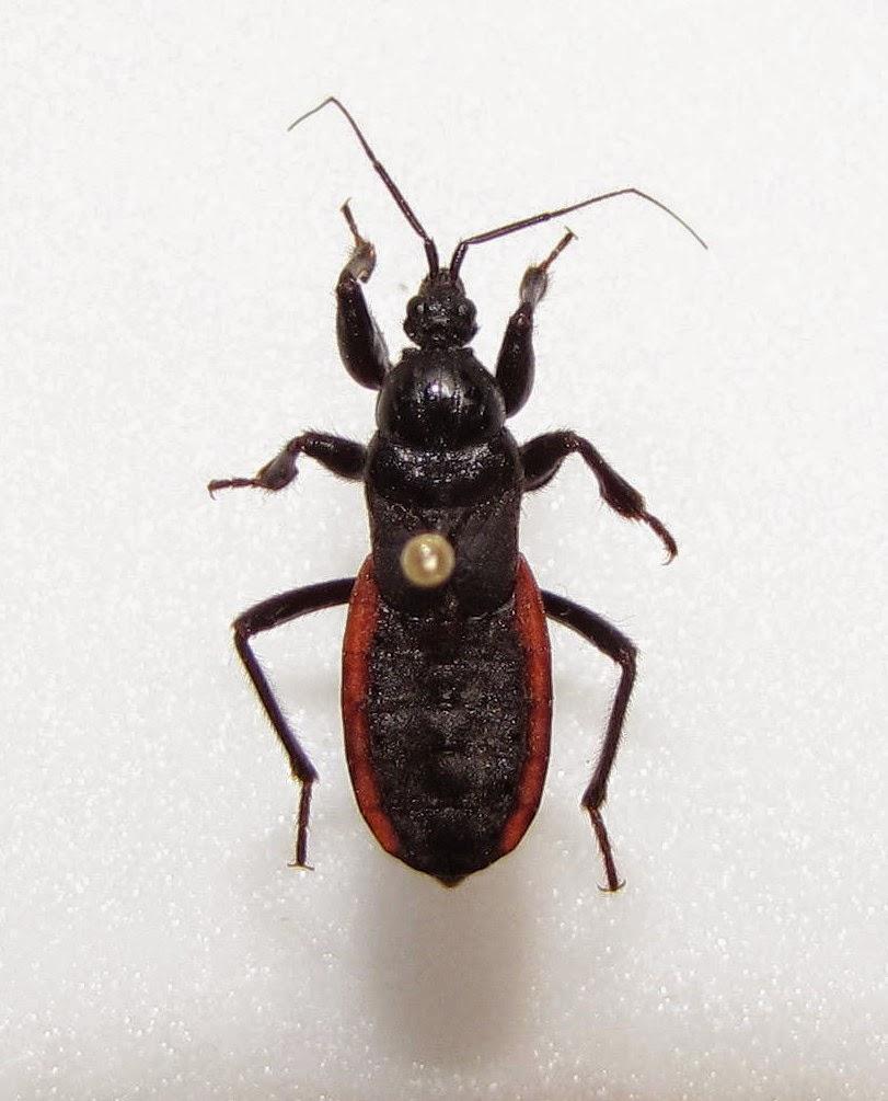 Bug Eric. Bug Eric  The Black Corsair