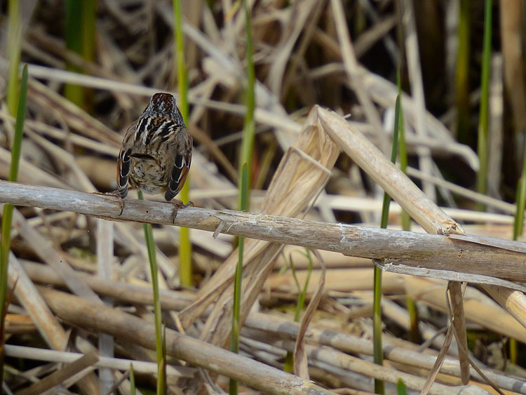 A Swamp Sparrow (Melospiza georgiana)