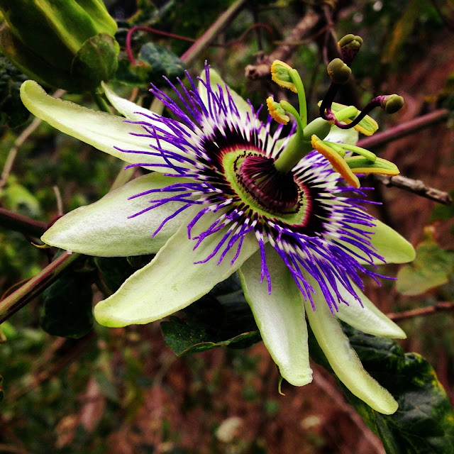 passion flower passion fruit blossom