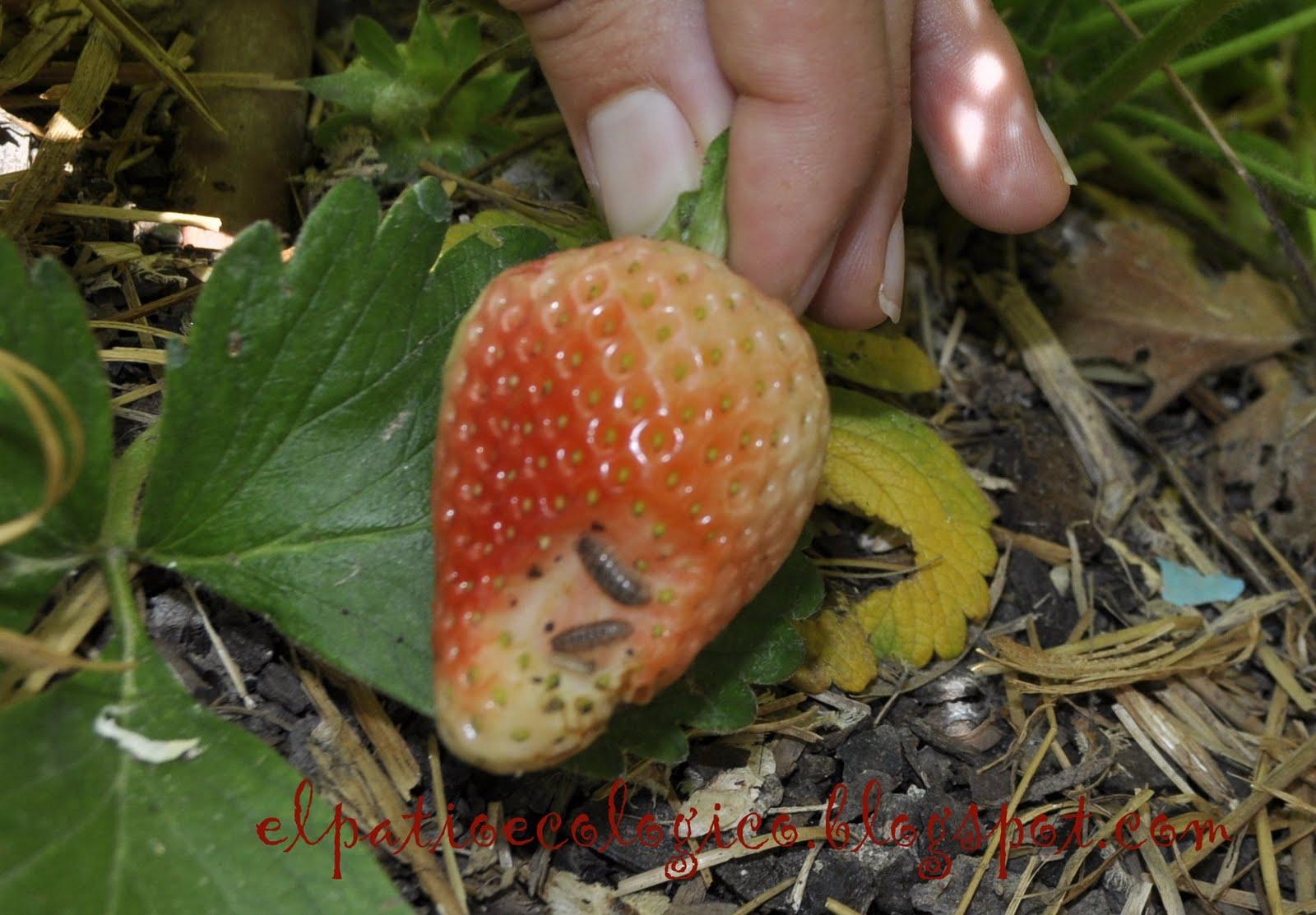 El patio ecol gico las cochinillas se comen las fresas for Caracoles de jardin que comen
