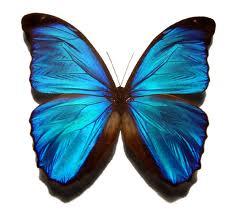 Larstern   Butterfly+blue