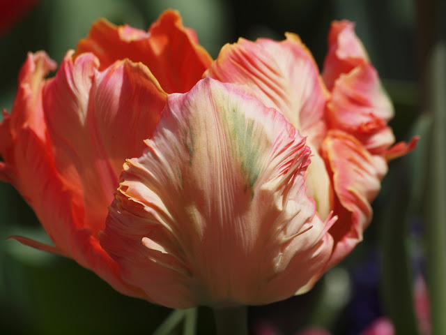 Tulip, Community Garden, Upper West Side, NYC