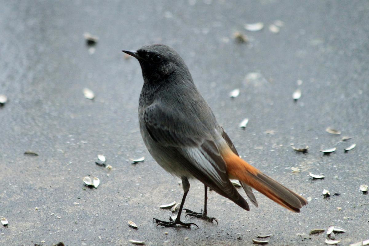 Vers le vent les sentinelles for Oiseau queue rouge