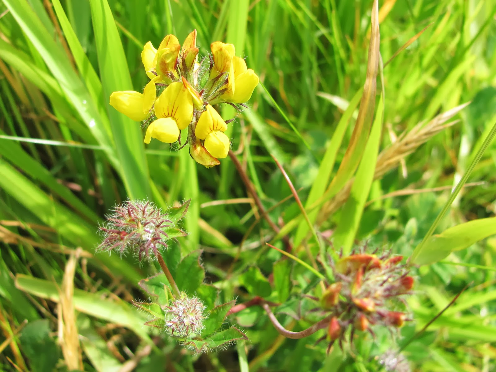 British Wildlife Blog Summer Flowers