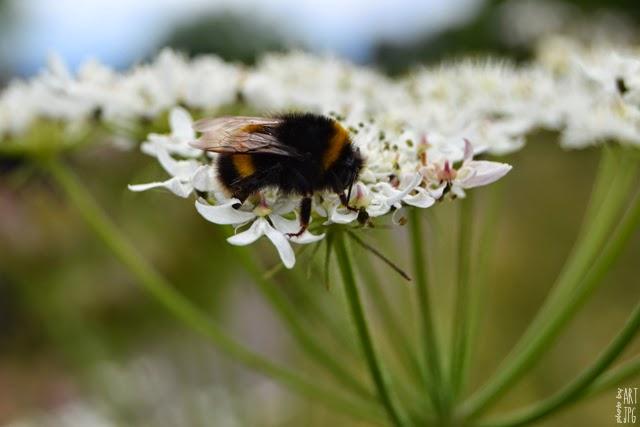 owady, trzmiel, łąka