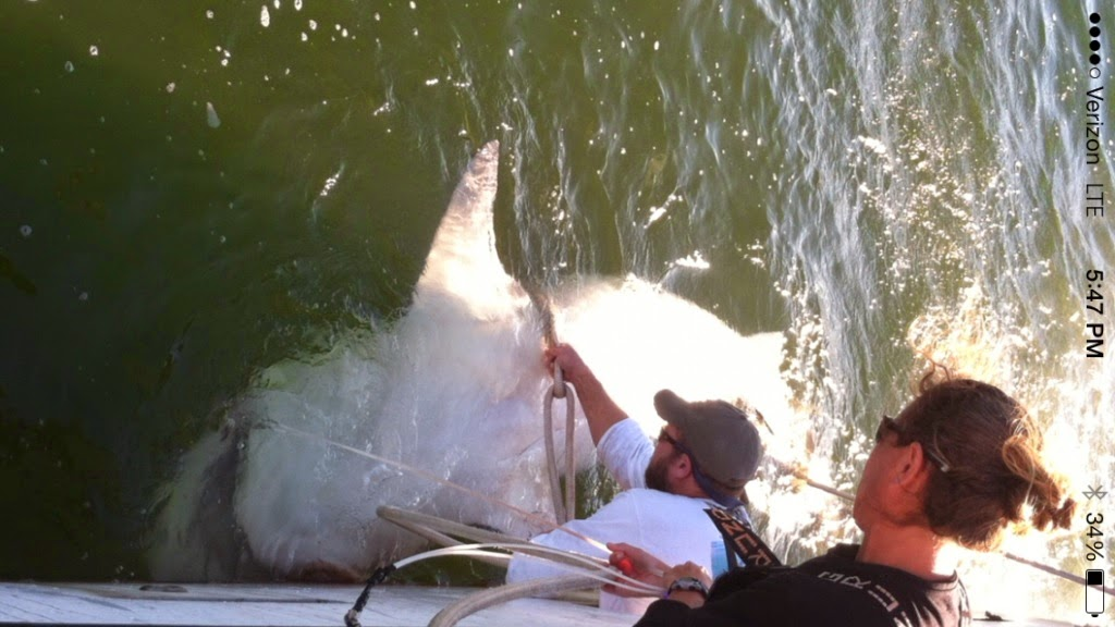 Massive tiger shark caught by DNR off Hilton Head, SC