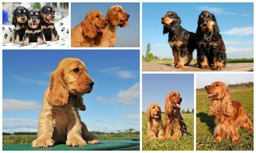 6 imágenes bonitas de perros y cachorros Cocker Spaniel | celebrity ...