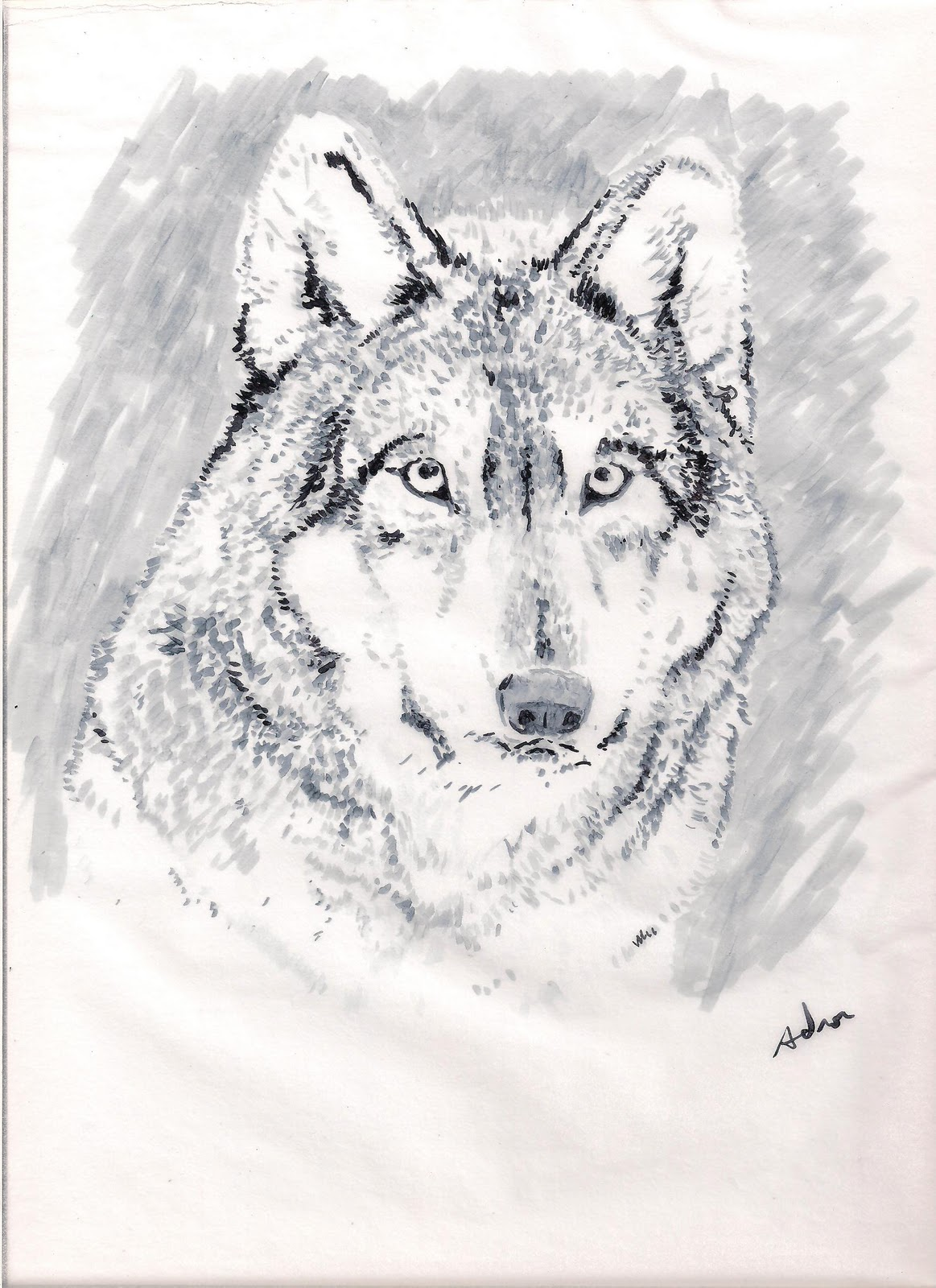 In Wolf A Draw Illustrator To How A Wolf How Drawing Draw To Draw Young The