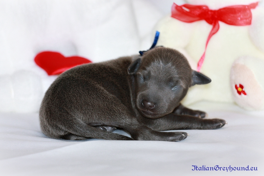 Italian Greyhounds Puppies kennel Stupor Mundi
