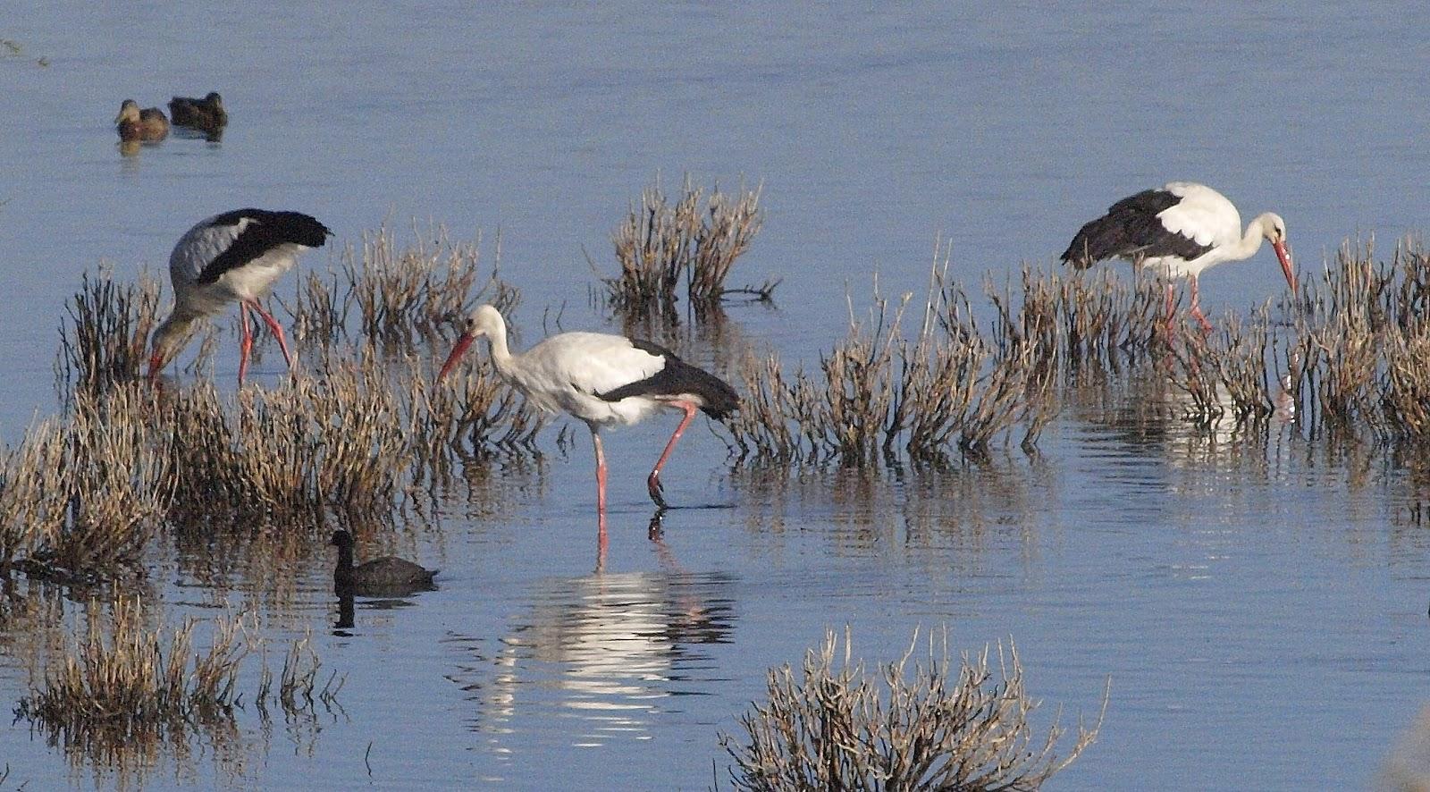 Birding the costa 14 08 laguna dulce fuente de piedra - Fuentes de piedra ...