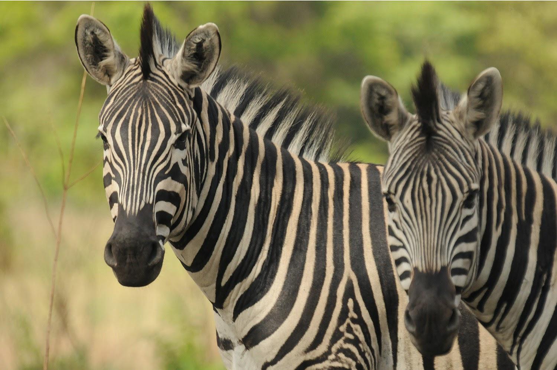 Zebra face profile - photo#28
