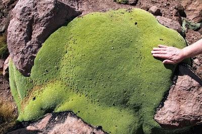 tanaman usia ribuan tahun-6