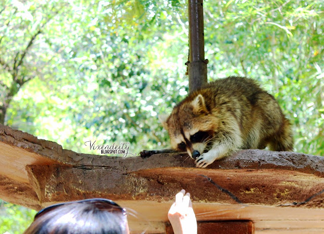 Lost World of Tambun Petting Zoo raccoon Acucu