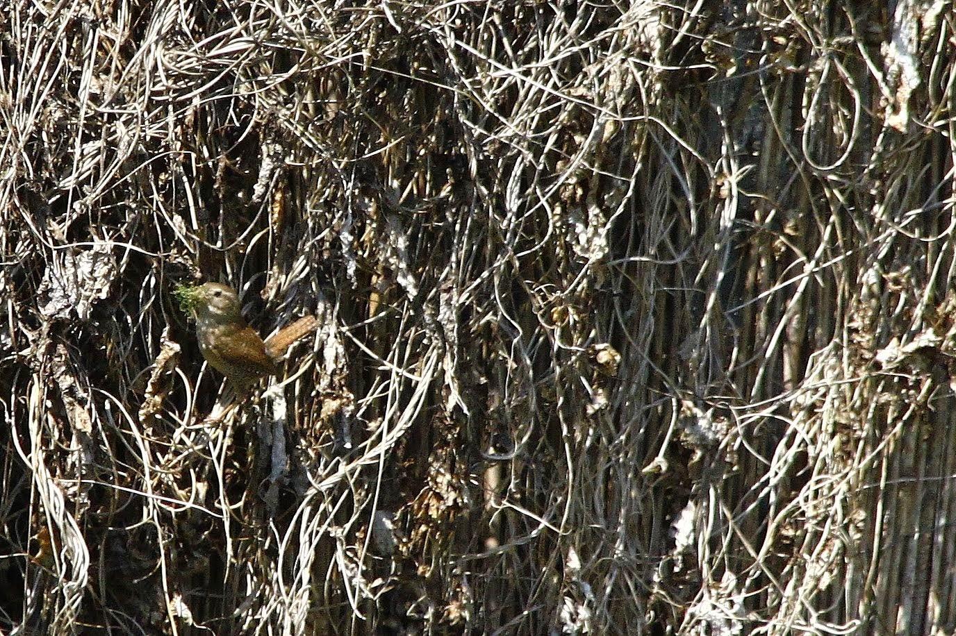 Le troglodyte mignon fait son nid