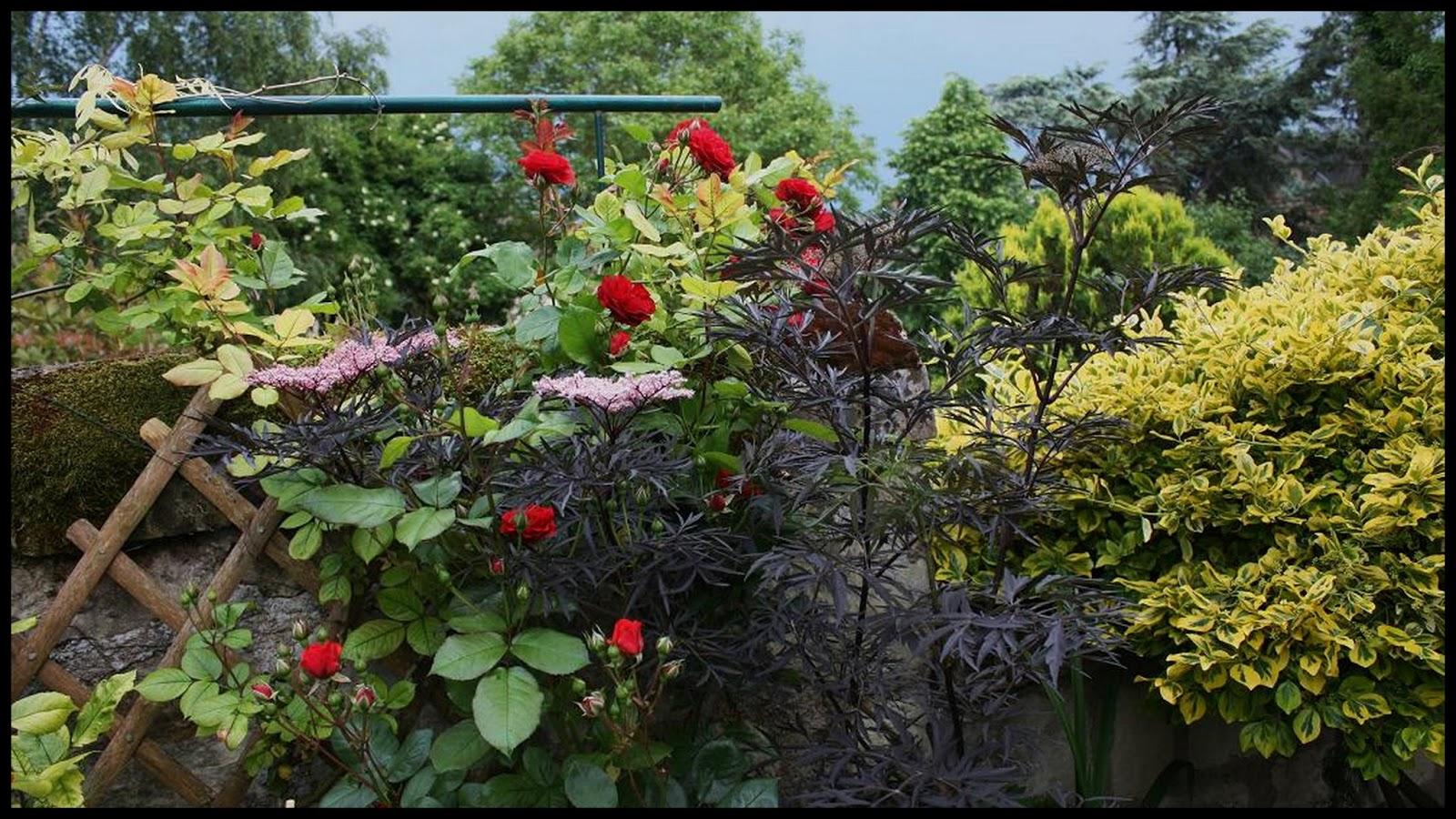 Le jardin des couronnes sureau noir for Le jardin des 6