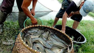 Peluang usaha budidaya ikan lele menguntungkan pic