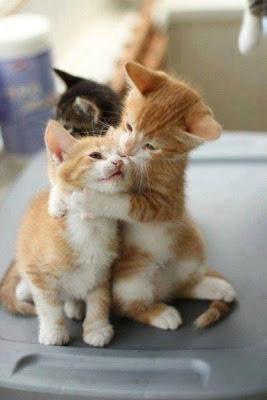 2 gatos rubios jugando
