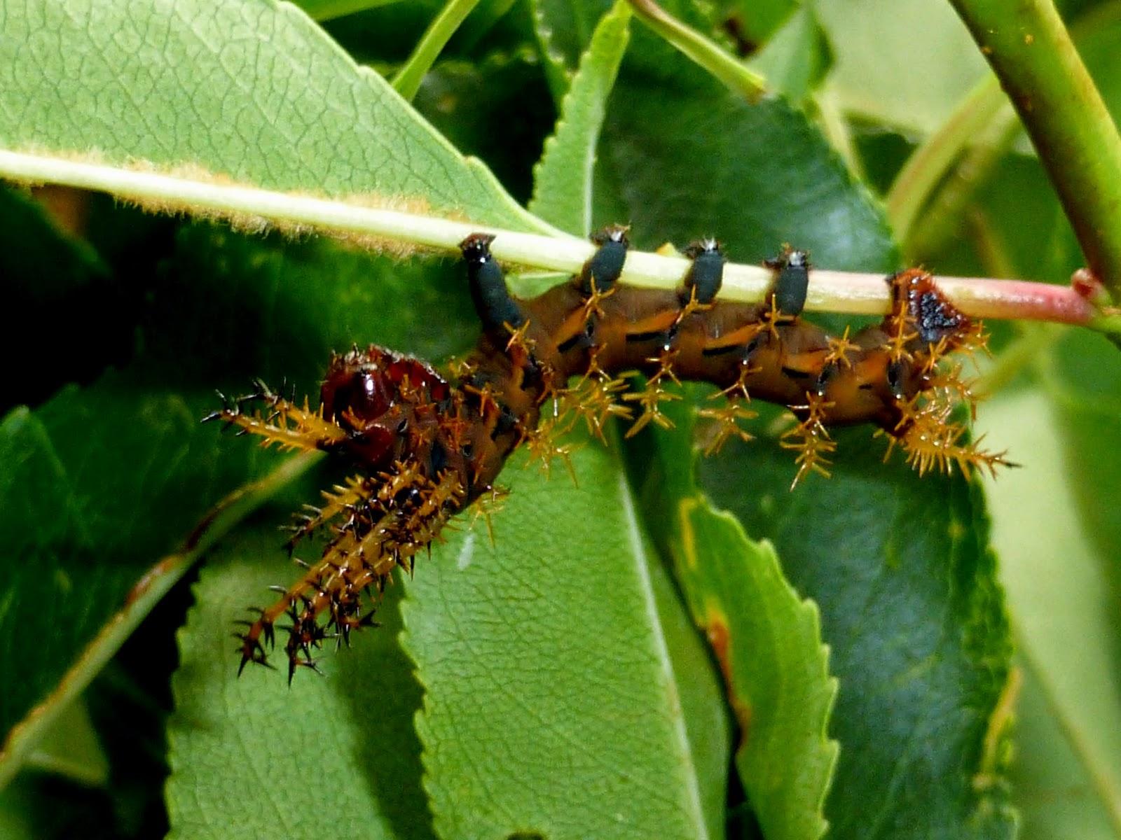 Citheronia regalis caterpillar L2