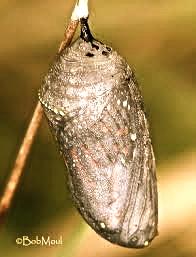 larva Laura Rosillo
