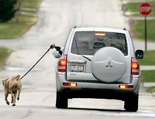 funny picture Dog walking from the car