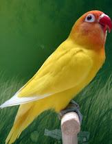 Si Cantik Lovebird