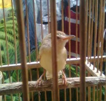 Tips Jitu Perawatan Burung Prenjak Alang-Alang