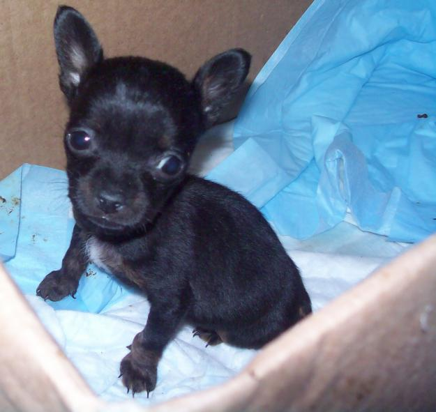 Cute Puppy Dogs Black Chihuahua Puppies
