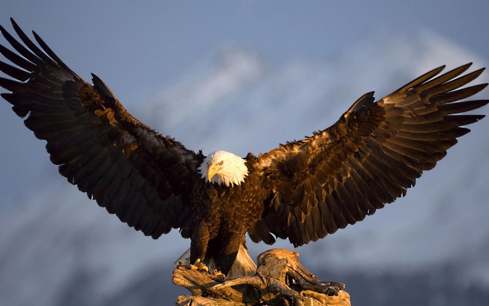 Bald Eagle Picture,Bald Eagle Desktop Wallpaper, Free