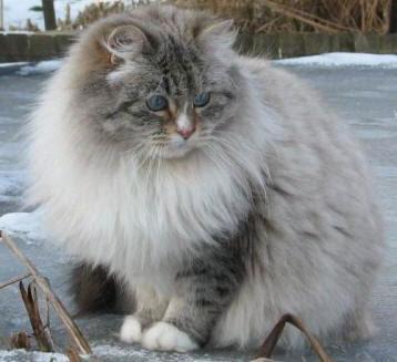 Gatti Le Razze A Pelo Lungo E Semilungo Pets Life