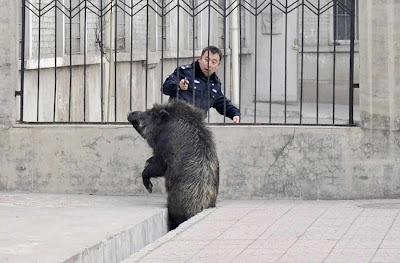 Taiyuan: polícia abateu porco do mato em caçada surrealista.