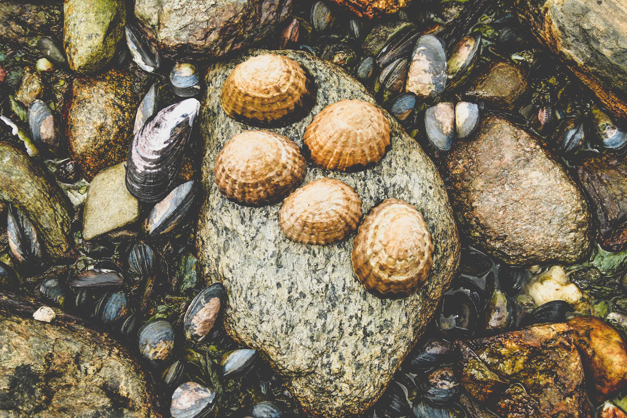 Muscheln auf einem Stein