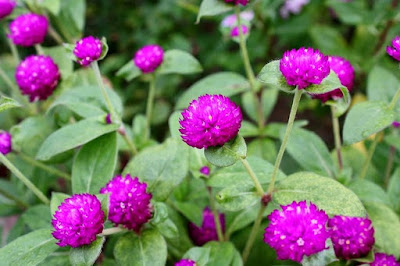 Kandungan dan Manfaat Bunga Kenop Untuk Ramuan Tradisional