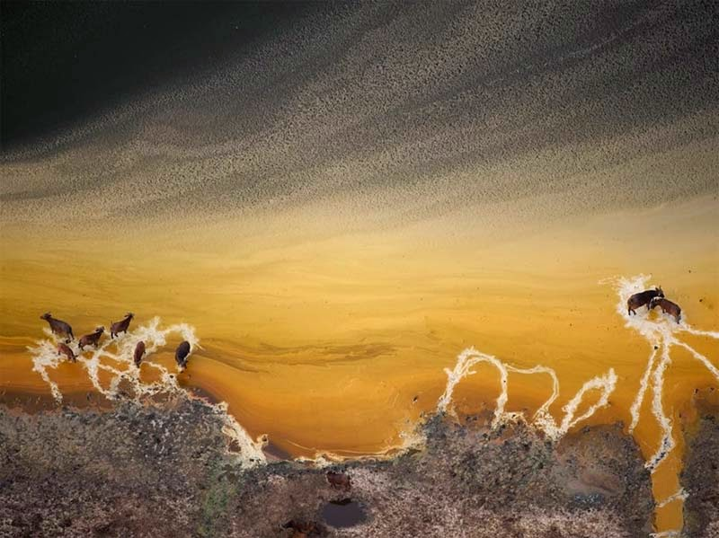 Búfalos africanos, Uganda, Joel Sartore