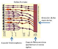 Histología del ojo