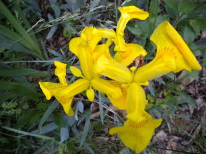 Yellow Flag, Iris