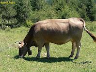Animals pasturant a prop de Matallops. Autor: Ricard Badia