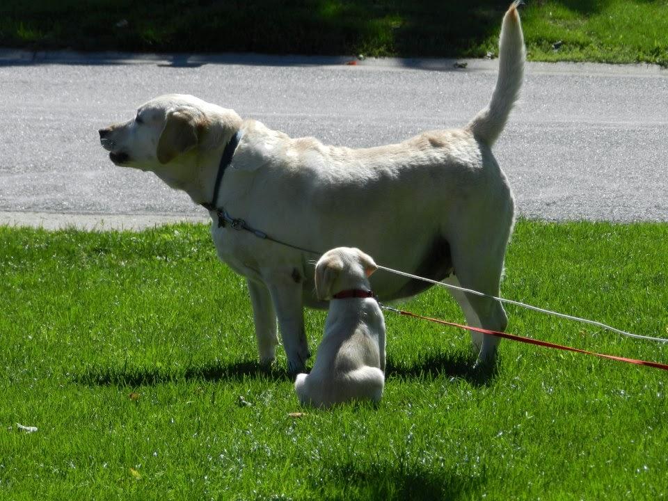 Labrador retrievers, lab puppy, dogs  www.ducksnarow.com