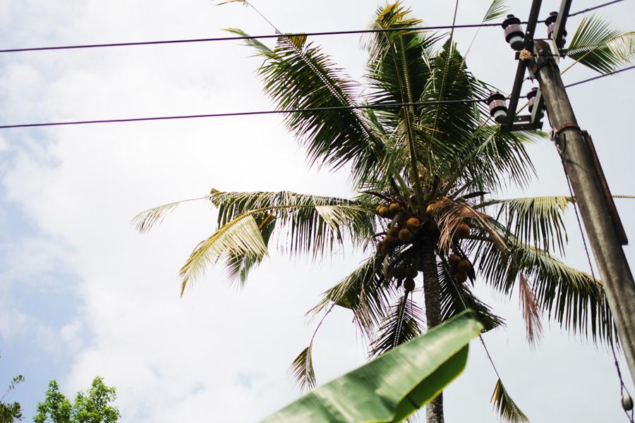 coconut water palm bali safari