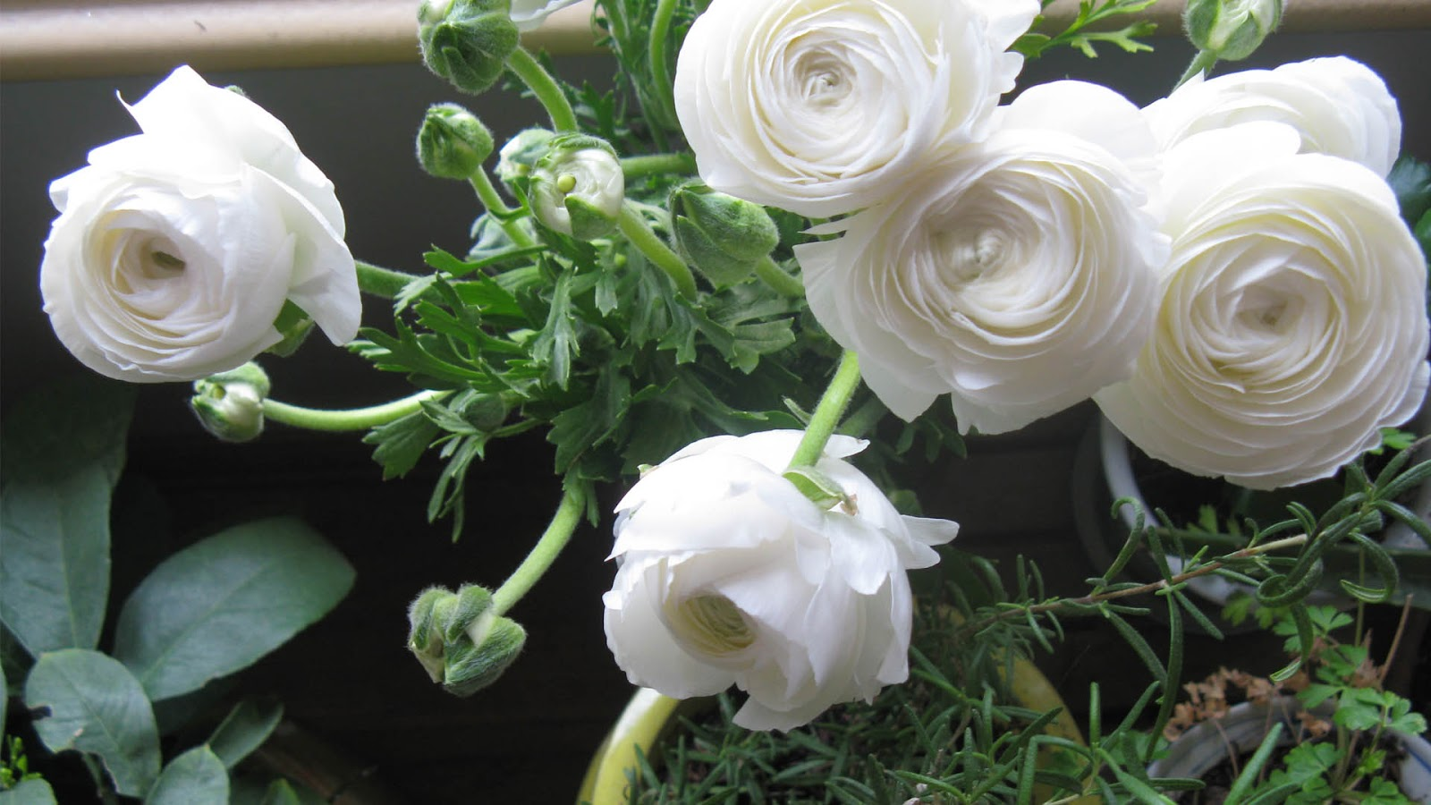 Ranunculus   HD Wallpapers (High Definition)   Free Background
