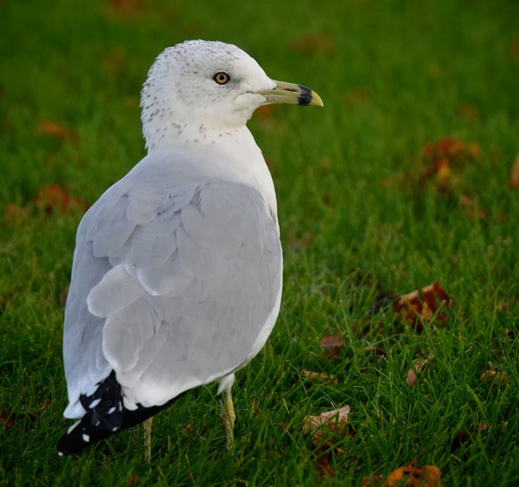 Ring-billed Gull (Larus delawarensis) standing in the grass at the Maumee Bay State Park Lodge in Toledo, OH