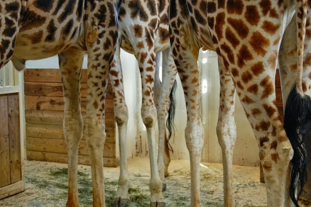 giraffe; Vienna blog