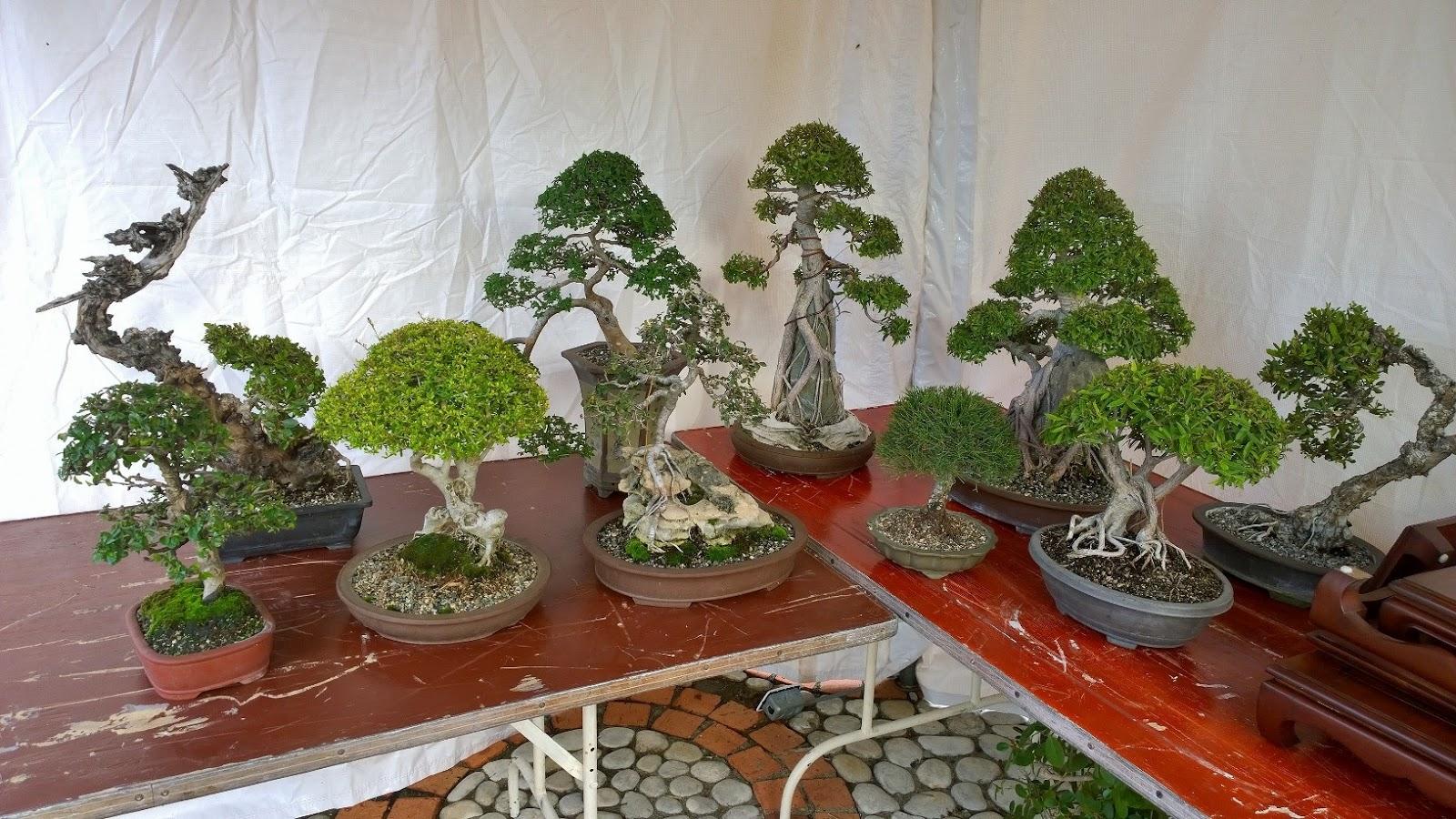 Bonsai en republica dominicana pequena participacion en for Plantas pequenas para jardin