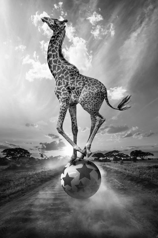 jirafa haciendo equilibrios rodando bola de circo