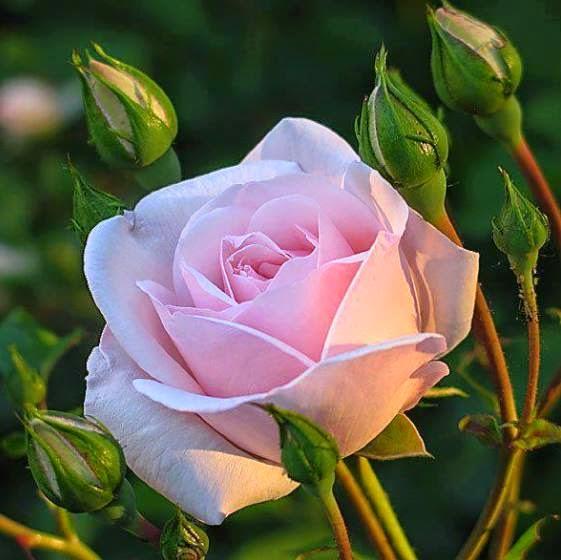 Uma Rosa Vale a Pena...