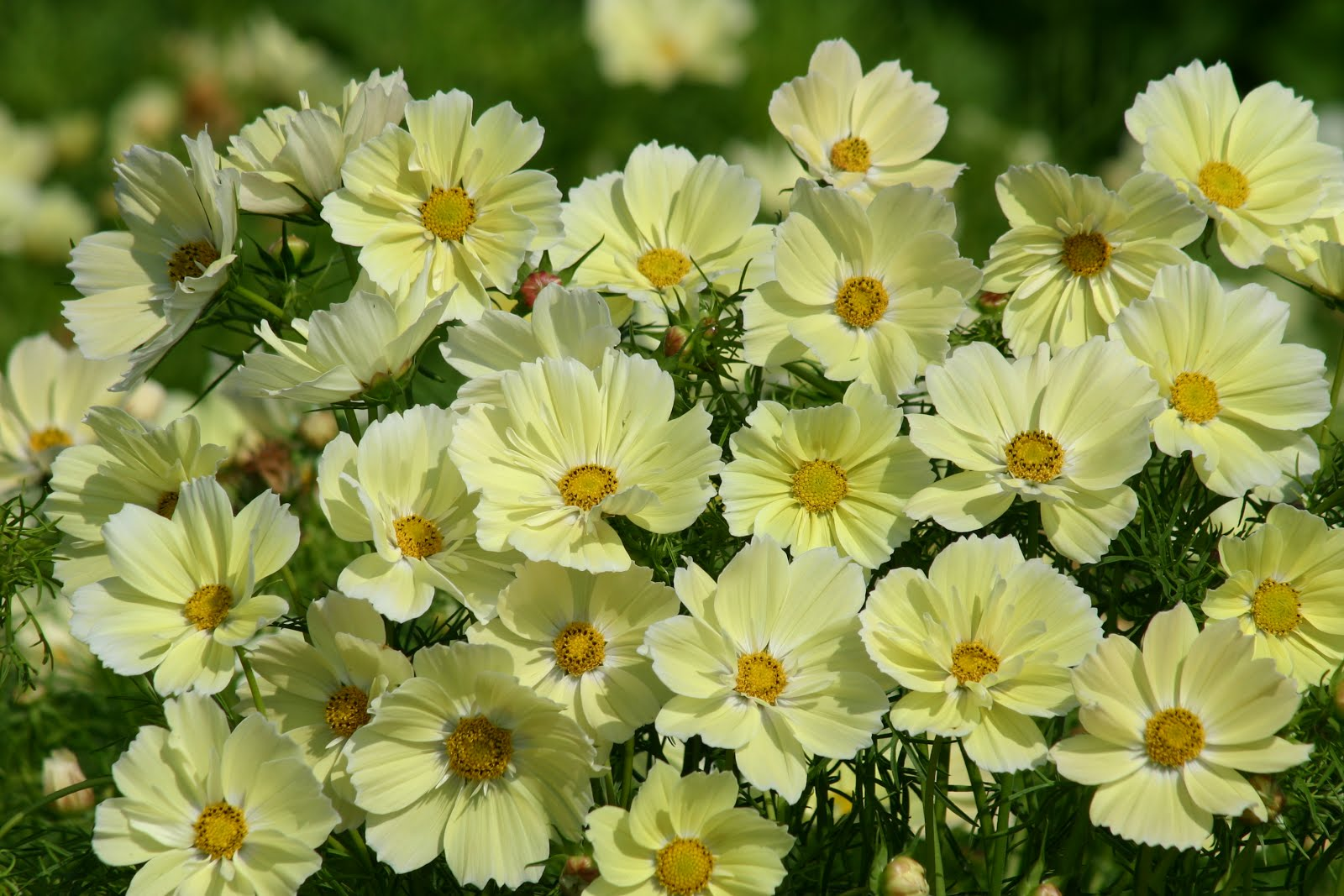 Gardening in vermont perennials and annuals new and unusual xanthos cosmos izmirmasajfo