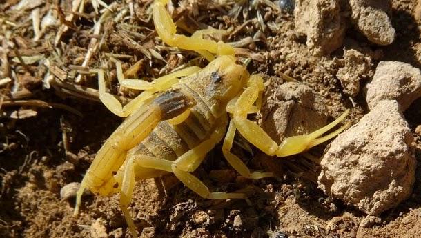 Escorpião deathstalker (Leiurus quinquestriatus)